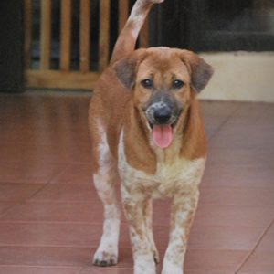 Ginger a rescued dog by Mission Pawsible - Dog Rescue, Rehome, & Adoption in Bali.