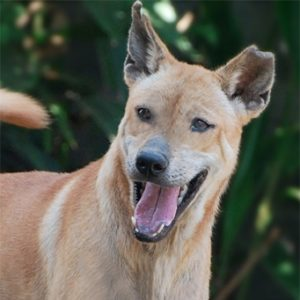 Peanut a rescued dog by Mission Pawsible - Dog Rescue, Rehome, & Adoption in Bali.