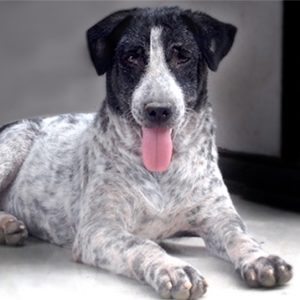 Ruby a rescued dog by Mission Pawsible - Dog Rescue, Rehome, & Adoption in Bali.