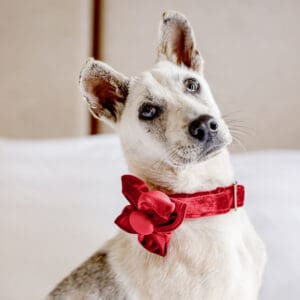 MissionPawsible_Collar_Miss Scarlet